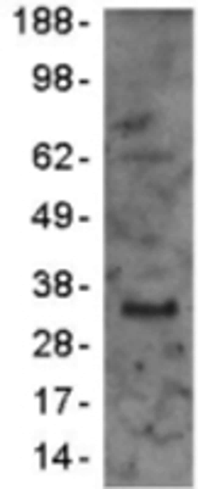 CD79a Antibody in Immunoblot (IB)