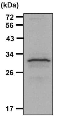 14-3-3 zeta Antibody in Immunoprecipitation (IP)