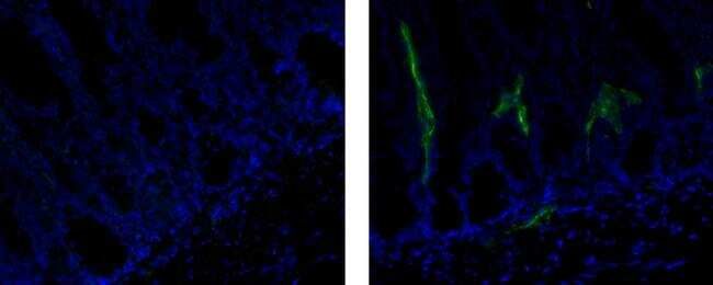 Rat IgG1 kappa Isotype Control in Immunohistochemistry (Frozen) (IHC (F))