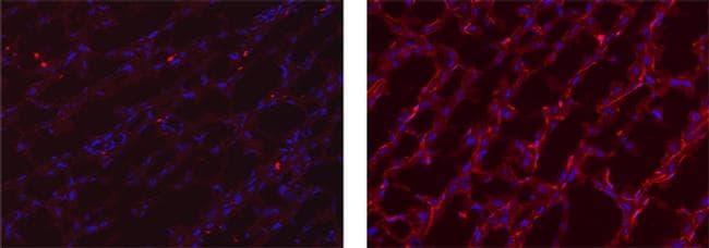 Rat IgG2a kappa Isotype Control in Immunohistochemistry (Frozen) (IHC (F))