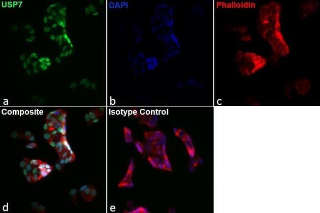Rat IgG2a kappa Isotype Control in Immunocytochemistry (ICC)