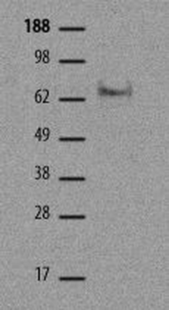 EOMES Antibody in Western Blot (WB)