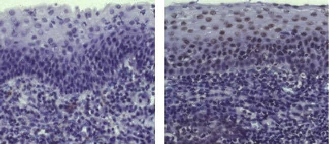 Armenian Hamster IgG Isotype Control in Immunohistochemistry (Paraffin) (IHC (P))