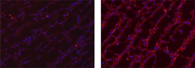 MERTK Antibody in Immunohistochemistry (Frozen) (IHC (F))