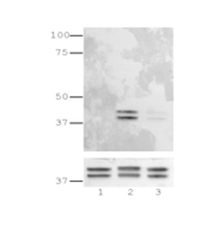 Phospho-ERK1/2 (Thr202, Tyr204) Antibody in Immunoblot (IB)