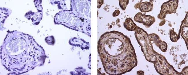 Angiogenin Antibody in Immunohistochemistry (Paraffin) (IHC (P))