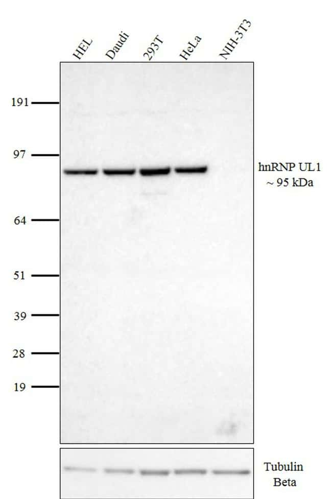 hnRNP UL1 Antibody in Western Blot (WB)