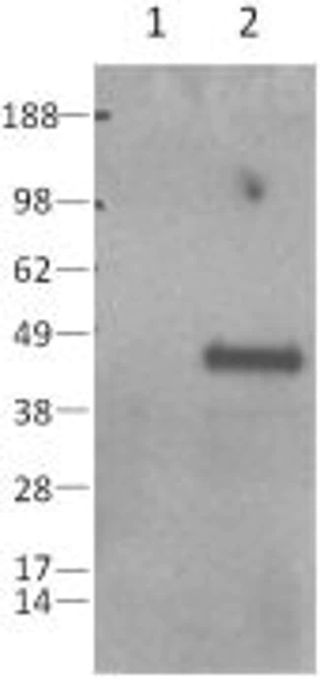 Caspase 1 Antibody in Western Blot (WB)