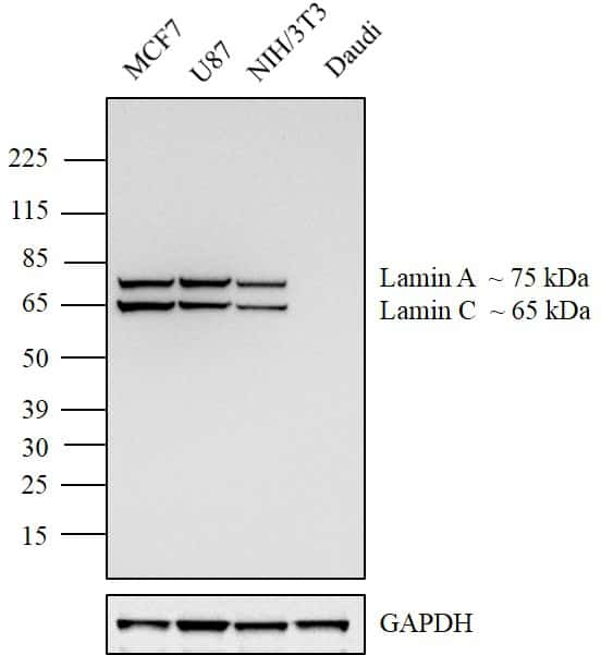 Lamin A/C Antibody in Relative expression