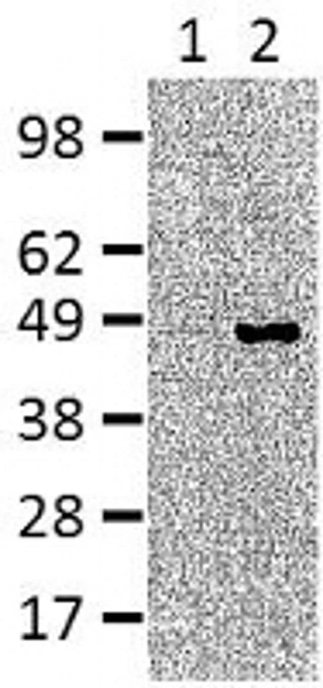 IRF4 Antibody in Immunoblot (IB)