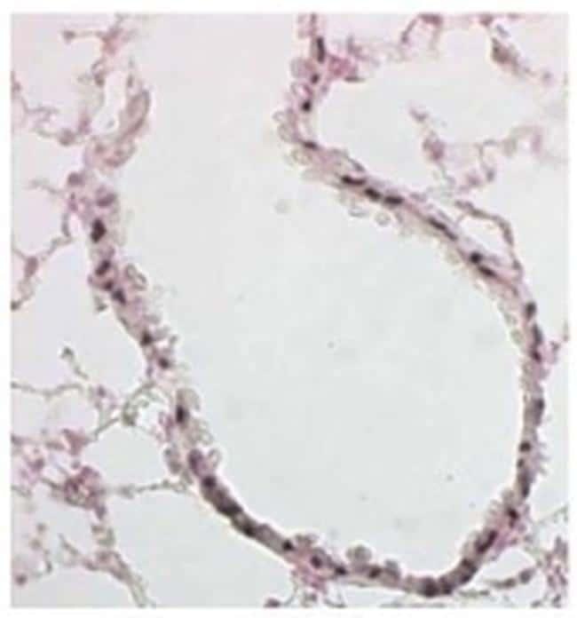 FOXJ1 Antibody in Immunohistochemistry (Paraffin) (IHC (P))