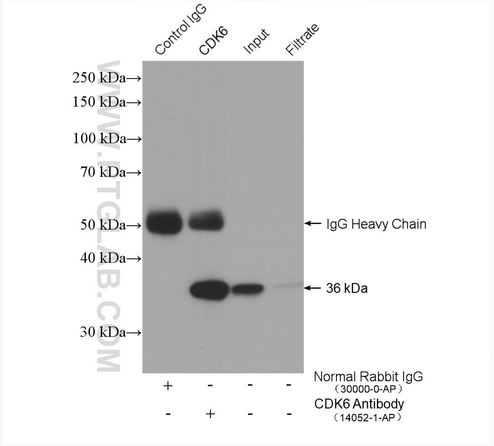 CDK6 Antibody in Immunoprecipitation (IP)