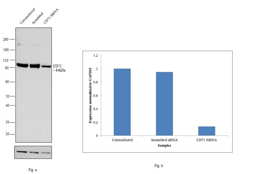 CD71 (Transferrin Receptor) Antibody in Western Blot (WB)