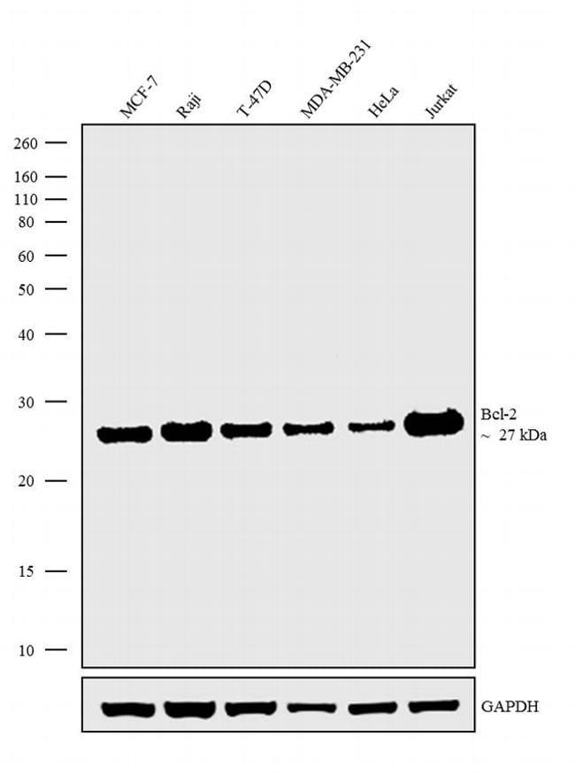 Bcl-2 Antibody in Western Blot (WB)