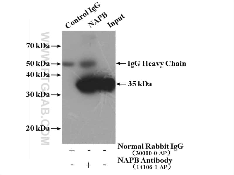 NAPB Antibody in Immunoprecipitation (IP)