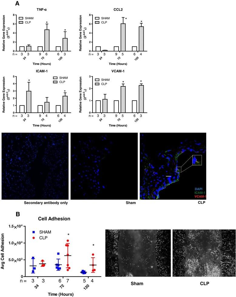 CD106 (VCAM-1) Antibody