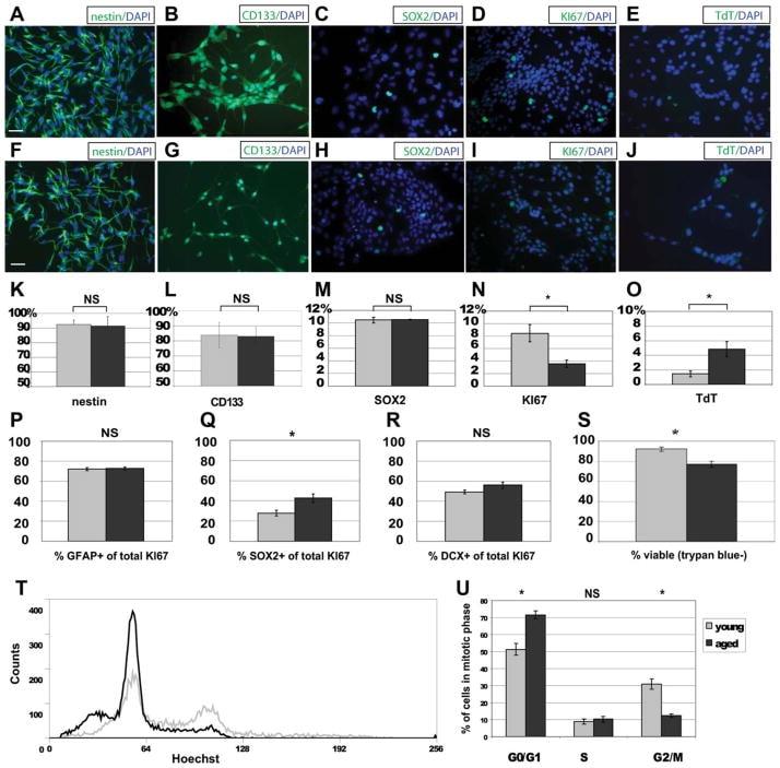 CD133 (Prominin-1) Antibody in Immunocytochemistry (ICC/IF)