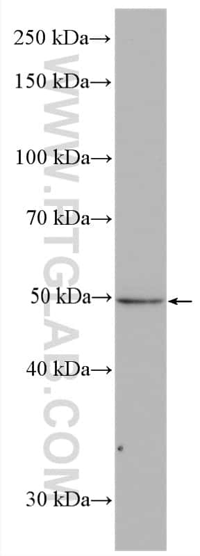 VPS4A Antibody in Western Blot (WB)