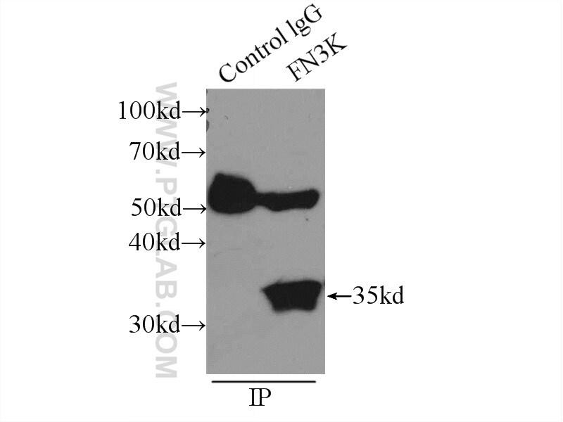 FN3K Antibody in Immunoprecipitation (IP)