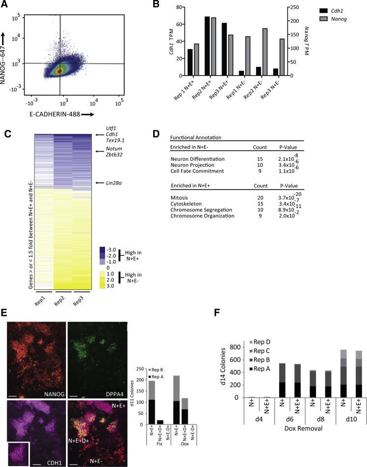 CD324 (E-Cadherin) Antibody