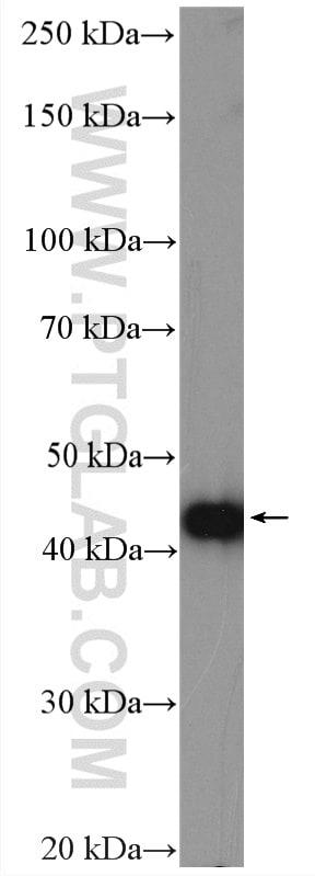 PPME1 Antibody in Western Blot (WB)