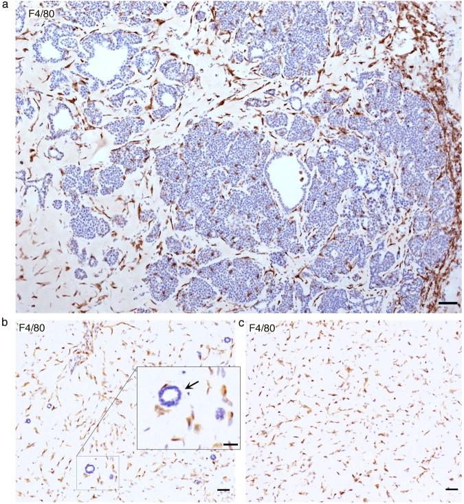 F4/80 Antibody
