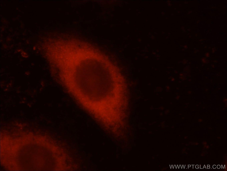 14-3-3 Antibody in Immunofluorescence (IF)