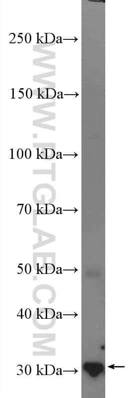 14-3-3 Antibody in Western Blot (WB)