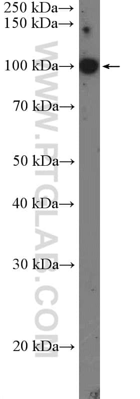 TOP3A Antibody in Western Blot (WB)
