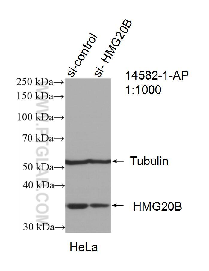 HMG20B Antibody in Western Blot (WB)
