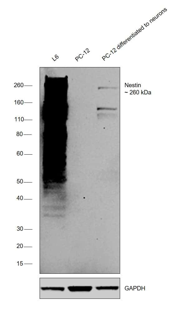 Nestin Antibody in Relative expression