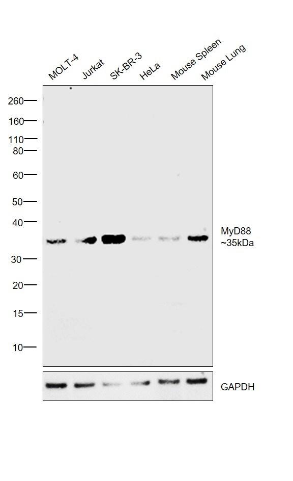 MyD88 Antibody in Western Blot (WB)