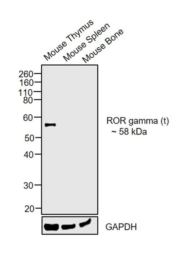 ROR gamma (t) Antibody in Relative expression