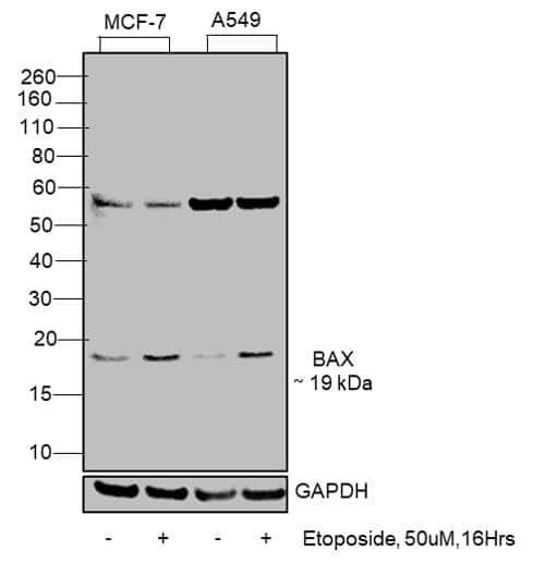 Bax Antibody in Cell treatment