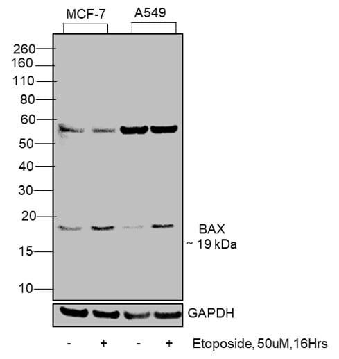 Bax Antibody in Western Blot (WB)