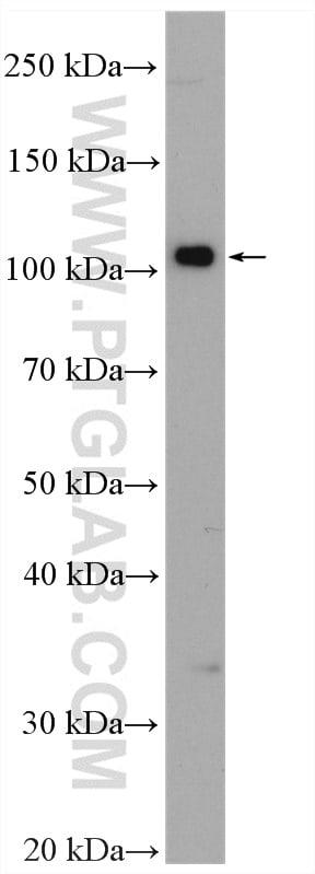 DNM3 Antibody in Western Blot (WB)
