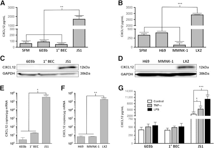 CXCL12 alpha (SDF-1 alpha) Antibody