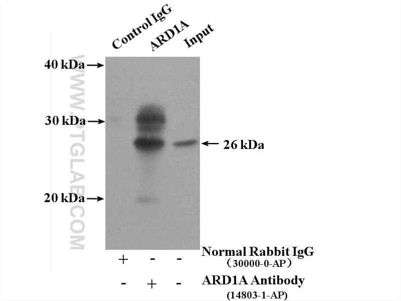 ARD1A Antibody in Immunoprecipitation (IP)