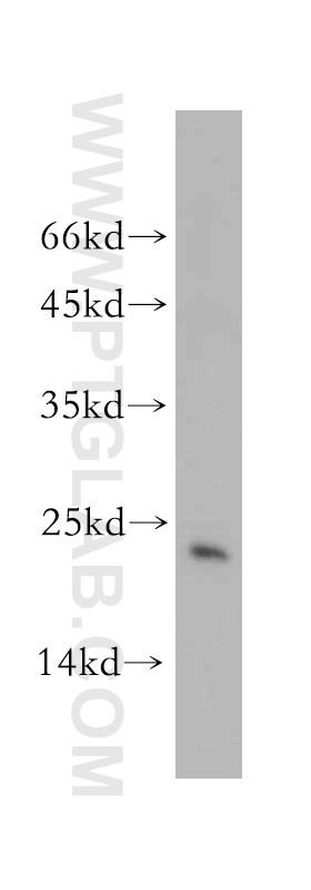 Hikeshi Antibody in Western Blot (WB)
