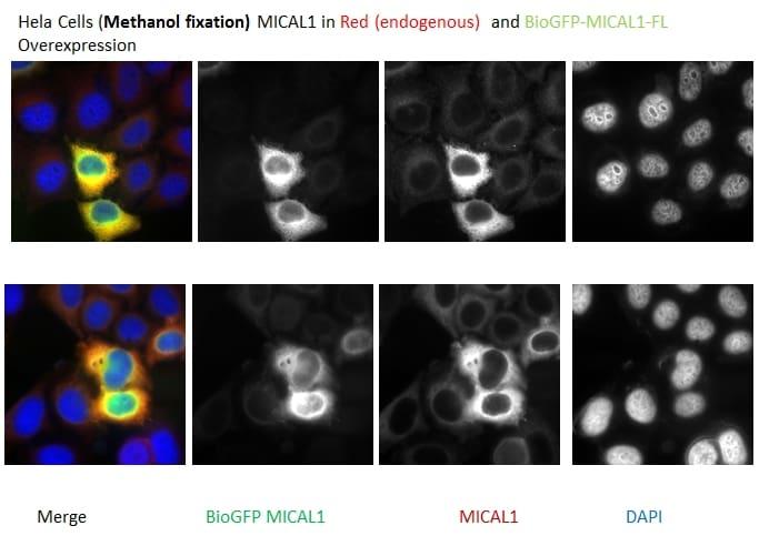 MICAL1 Antibody in Immunocytochemistry (ICC/IF)