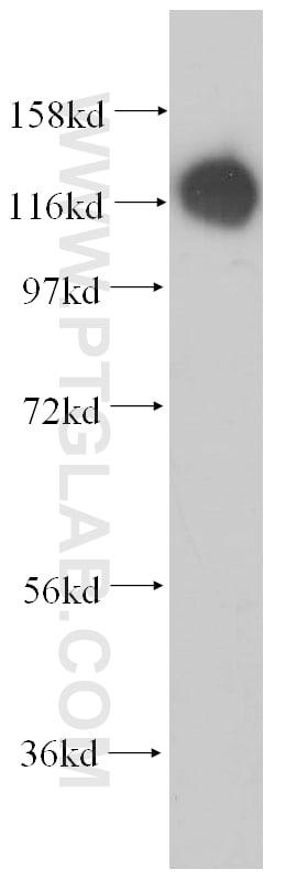MICAL1 Antibody in Western Blot (WB)
