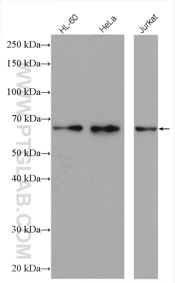 GLYR1 Antibody in Western Blot (WB)