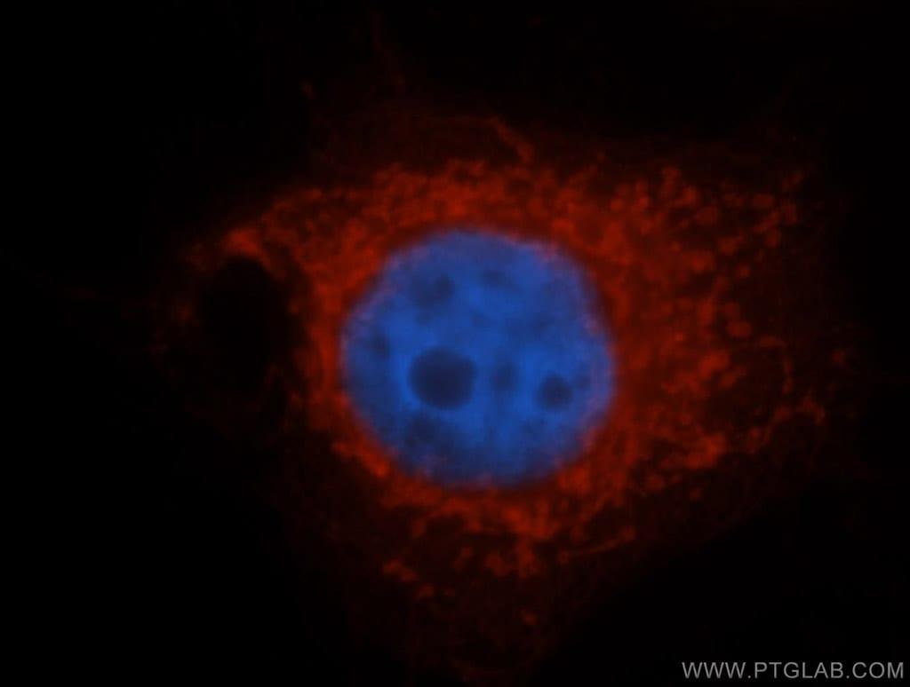SLC25A6 Antibody in Immunofluorescence (IF)