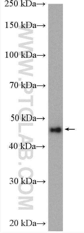 Phospho-Gsk3b (Ser389) Antibody in Western Blot (WB)