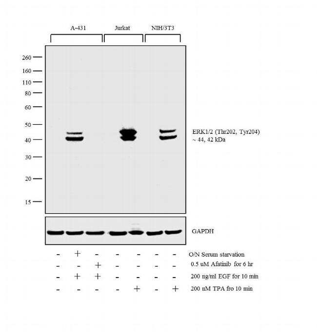 Phospho-ERK1/2 (Thr202, Tyr204) Antibody in Western Blot (WB)