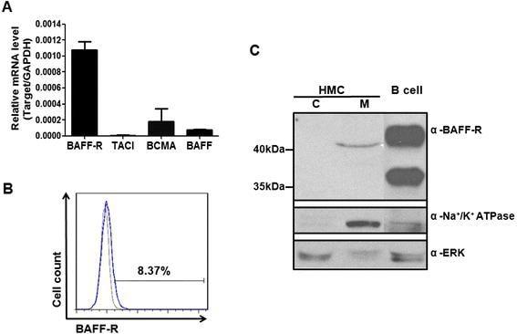 CD268 (BAFF Receptor) Antibody