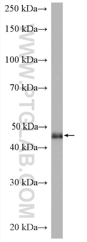POFUT1 Antibody in Western Blot (WB)
