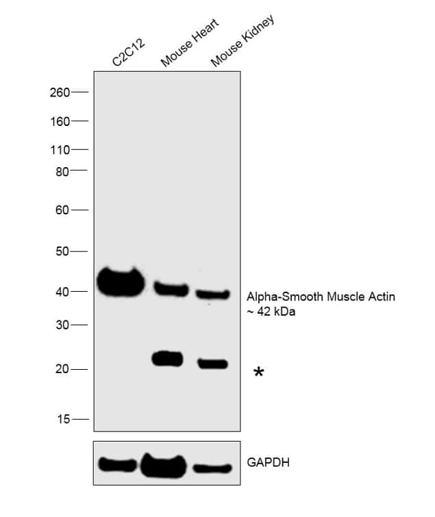 Alpha-Smooth Muscle Actin Antibody in Western Blot (WB)