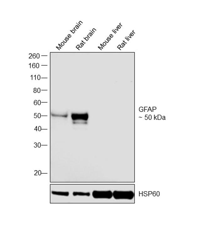 GFAP Antibody in Western Blot (WB)