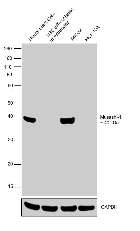 Musashi-1 Antibody in Relative expression